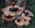 Dryad's Saddle (Polyporus squamosus) - Kitchener, Ontario 01.jpg