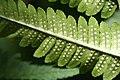 Dryopteris goldiana CR-0959.jpg