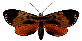<i>Duboisvalia ecuadoria</i> species of insect