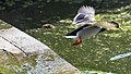 Duck flying off (38127282975).jpg