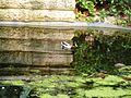 Ducks in Koning Albertpark (1).jpg