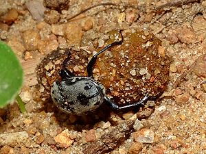 Dung beetle - A dung beetle with two balls of dung