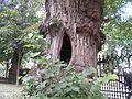 Dziupla w drzewie sprzed kościoła Świętego Jakuba w Sandomierzu.jpg