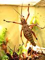 Eastern Lubber Grasshopper 02.jpg