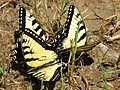 Eastern tiger swallowtail butterflies.jpg