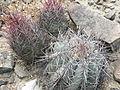 Echinocactus horizonthalonius and Thelocactus bicolor (5672084680).jpg