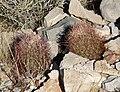 Echinomastus johnsonii 5.jpg