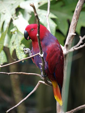 North Carolina Zoo - A female eclectus parrot in the Aviary