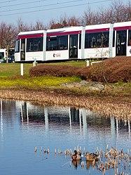 Edinburgh Trams and Mallard Ducks (geograph 3887323).jpg