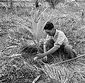 Een arbeider plant een jonge kokospalm in de palmentuin in Coronie, Bestanddeelnr 252-5662.jpg
