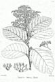 Ehretia laevis Bra42.png