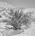 Ein Gidi Rotslandschap met een palmboom in een waterpoel, Bestanddeelnr 255-2750.jpg