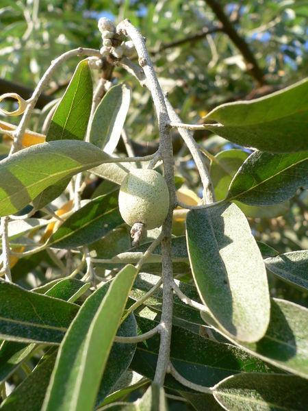 fruit de l' ellaeagnus angustifolia