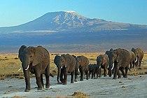 Elephants at Amboseli national park against Mount Kilimanjaro.jpg