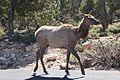 Elk Grand Canyon 7.jpg