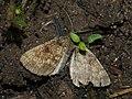 Ematurga atomaria - Common heath - Пяденица вересковая (39115137510).jpg