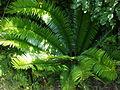 Encephalartos senticosus 1c.JPG