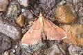 Endotricha flammealis (RL) (30904971332).jpg