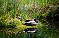 Entenpaar beim Mittagsschlaf.JPG