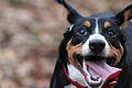 Entlebucher Sennenhond pup.jpg