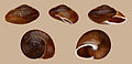 Epiphragmophora clausomphalos 01.jpg