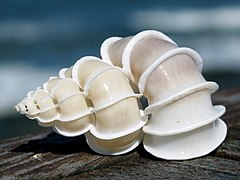 Epitonium scalare shell.jpg