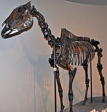 Skeleton in Carnegie Museum of Natural History