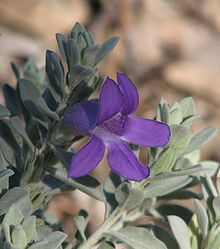 Eremophila Plant Wikipedia