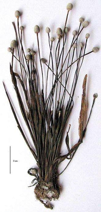 Eriocaulon - Eriocaulon madayiparense type specimen