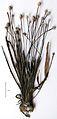 Eriocaulon madayiparense Type specimen.jpg