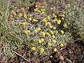 Eriogonum caespitosum (5006630214).jpg