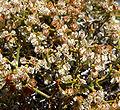 Eriogonum heermannii var sulcatum 10.jpg