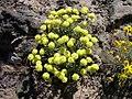 Eriogonum sphaerocephalum var. sphaerocephalum-6-08-04.jpg