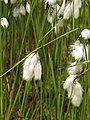 Eriophorum angustifolium Wełnianka wąskolistna 2010-05-15 04.jpg
