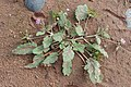 Erodium malacoides kz02.jpg