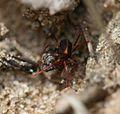 Erythraeid mite dragging dead weevil - Flickr - S. Rae.jpg