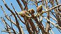Erythrina latissima02.jpg