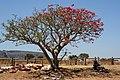 Erythrina lysistemon och försäljerska - Flickr - Ragnhild & Neil Crawford.jpg