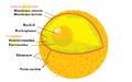 Esquema de nucli cel·lular.PNG