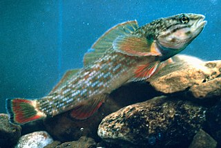<i>Etheostoma rufilineatum</i> species of fish