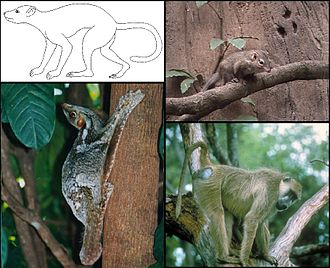 Euarchonta - Euarchonts: upper left: Plesiadapis, upper right: northern treeshrew, lower left: Sunda flying lemur and lower right: yellow baboon