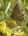 Eumedonia eumedon, Geranium Argus, Rila, Bulgaria, June 2014 (21166386883).jpg