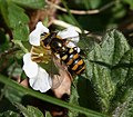 Eupeodes latifasciatus (female) on Barren Strawberry - Flickr - S. Rae.jpg
