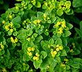 Euphorbia - Jardins de Bagatelle.JPG