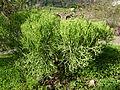 Euphorbia aphylla (Jardín Botánico Canario Viera y Clavijo).jpg