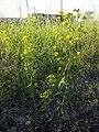 Euphorbia esula (s. str.) sl2.jpg