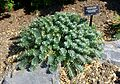 Euphorbia myrsinites - VanDusen Botanical Garden - Vancouver, BC - DSC06760.jpg