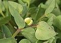 Euphorbia peplus fruit, Tuinwolfsmelk vrucht.jpg