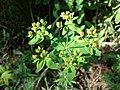 Euphorbia polychroma sl13.jpg