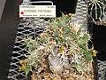 Euphorbia tortirama - University of California Botanical Garden - DSC08853.JPG